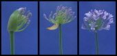 Agapanthus, Studio shot of purple coloured flower against blue background.