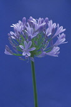 Agapanthus, Studio shot of purple coloured flower against blue background.