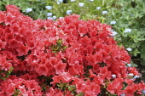 Azalea, deep pink azalea in full flower.