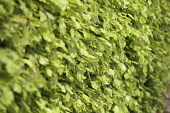 Beech hedge, Fagus Sylvatica, View along a mature hedge showing fresh green leaves.