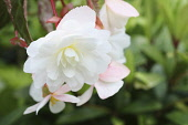 Begonia, Hanging open white flower head with a touch of yellow in the centre.