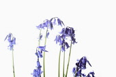 Bluebell, English bluebell, Hyacinthoides non-scripta, Stems and pale blue flower heads shown against a pure white background.
