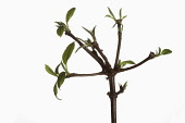 Viburnm, Burkwoodii, Viburnam x burkwoodii, Branches with emerging leaves shown against a pure white background.