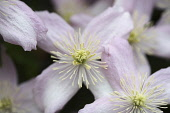 Clematis, Clematis Montana Wilsonii, A open white flower with pink tinging showing filaments and stamen.