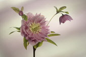 Hellebore, Open flower head on a stem, with a bud and second flower in side view.