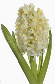 Hyacinth, Hyacinthus, Single open cream flower head with leaves shown against a pure white background.