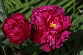 Peony, Paeonia Kansas,  2 open red flower heads showing bright yelow stamen.