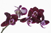 Orchid, Moth Orchid, Phalaenopsis, Arching stem bearing open purple flowers against a pure white background.