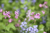 Campion, Red Campion, Silene dioica, Open flower heads against a light green background.