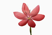 Kaffir Lily, Schizostylis coccinea, Single open deep pink flower head with filaments and stamen shot against a pure white background.