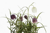 Snakes Head Fritillary, Fritillaria meleagris,  Purple and white flowers on stems growing in foliage, shown against a pure white background.