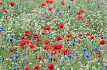 Wild flower meadow with Papaver rhoeas,  Field poppy, Centaurea cyanus, Cornflower and Anthemis arvensis, Corn Chamomile, growing outdoor.