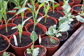 Young vegetable plants in pots growing under cover in a greenhouse, Cauliflower 'Clapton' and Sweetcorn 'Lark'.