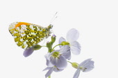 Studio shot of Male Orange Tip butterfly on Cardamine pratensis, Cuckoo flower.