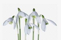 Snowdrop, Galanthus, Studio shot of white flowers.
