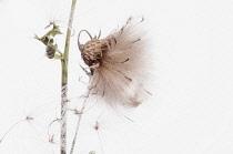 Thistle, Creeping thistle, Cirsium arvense, studio shot of seedhead.