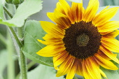 Sunflower 'The Bees Knees', Helianthus annuus 'The Bees Knees', Yellow flower growing outdoor.