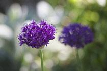 Allium, Allium cultivar, two purple coloured flowerheads growing outdoor.