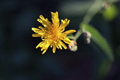Dandelion,  Taraxacum officinale, Yellow coloured flowers growing outdoor with butterfly.