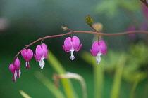 Bleeding Heart, Dicentra spectabilis, Pink flowers growing outdoor.