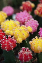 Cactus, Close up shot of multi coloured cactii.