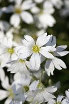 Snow in Summer, Cerastium tomentosum, Mass of white flowers growing outdoor.