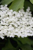 Elder, Sambucus nigra, Close up of white coloured flowers growing outdoor.