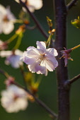 Cherry, Prunus serrualta, Close up of pink flower blossoms growing on Japanese Cherry Tree outdoor.
