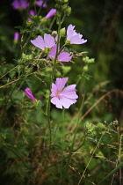 Mallow, Mauve Sylvestre, Malva sylvestris, Pale pink coloured flowers growing outdoor.