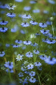 Love-in-a-mist, Nigella damascena, Mass of blue coloured flowers growing outdoor.