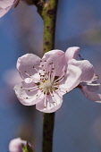 Peach, Prunus persica, Pink flower blossoms growing on tree outdoor.