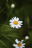 Daisy, Ox-eye daisy, Leucanthemum vulgarem, Wild white coloured flowers growing outdoor.