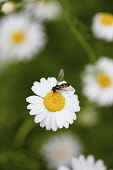 Daisy, Ox-eye daisy, Leucanthemum vulgarem, Wild white coloured flower growing outdoor with insect.