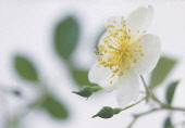 Rose, Rosa, Rosa 'Wedding day', Close up studio shot of white flower showing stamen.
