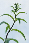 Lemon verbena, Aloysia triphylla, Close up side view of foliage.
