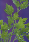 Parsley, Petroselinum, Close up of foliage showing pattern against purple background.