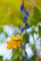 Glaucous scorpion-vetch, Cornilla Valentina subsp Glauca, Delicate yellow flower growing outdoor.