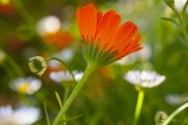 Marigold, Calendula officinalis, Orange coloured flower growing outdoor.