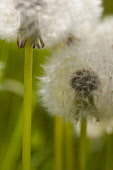Dandelion clock, Taraxacum officinale, Close up of seedhead outdoor showing cypsela.