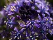 Portugues squill, Scilla Peruviana, Purple coloured flowers growing outdoor.