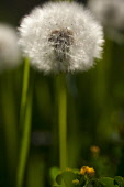 Dandelion clock, Taraxacum officinnale, Side view of single stem growing outdoor.