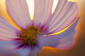 Cosmos, Pink flower growing outdoor backlit by setting sun.
