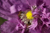 Poppy, Papver, Close up of mauve coloured flower growing outdoor with bees.