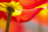 Poppy, Papaver, Close up of red coloured flower growing outdoor.