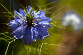 Nigella, Nigella damascena, Close up of blue coloured flower growing outdoor.