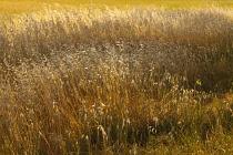 Hay, Meadow field of golden grasses.
