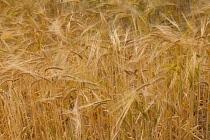 Wheat, Triticum, Field of golden ripe crop.