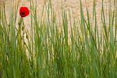 Poppy, Papaver, Single red flower growing outdoor amongst green foliage.