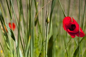 Poppy, Papaver, Single red flower growing outdoor among green foliage.