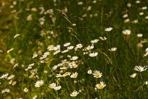 Daisy, Bellis cultivar, Mass of small white flowers growing outdoor in a field.
